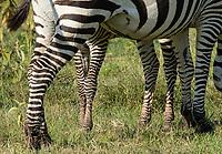 A Grant's Zebra colt, Equus quagga boehmi, stands behind its mother in Lake Nakuru National Park, Kenya