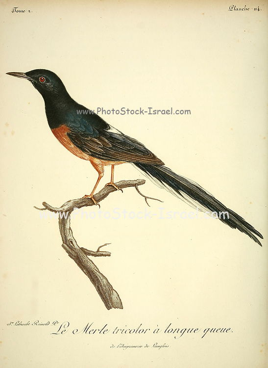 MERLE TRICOLOR from the Book Histoire naturelle des oiseaux d'Afrique [Natural History of birds of Africa] Volume 3, by Le Vaillant, François, 1753-1824; Publish in Paris by Chez J.J. Fuchs, libraire 1799 - 1802