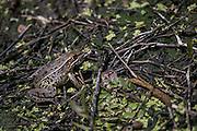 Southern Leopard Frog (Rana sphenocephala)<br /> Little St Simon's Island, Barrier Islands, Georgia<br /> USA<br /> HABITAT & RANGE: Temperate & subtropical North America to northern Mexico