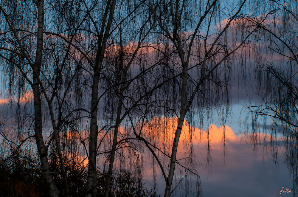 It's sunset and the silhouettes of the birch trees in autumn create an compelling image, full of color and quiet drama.