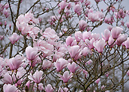 Magnolia cylindrica, a pale pink magnolia in Kew Gardens, London, UK