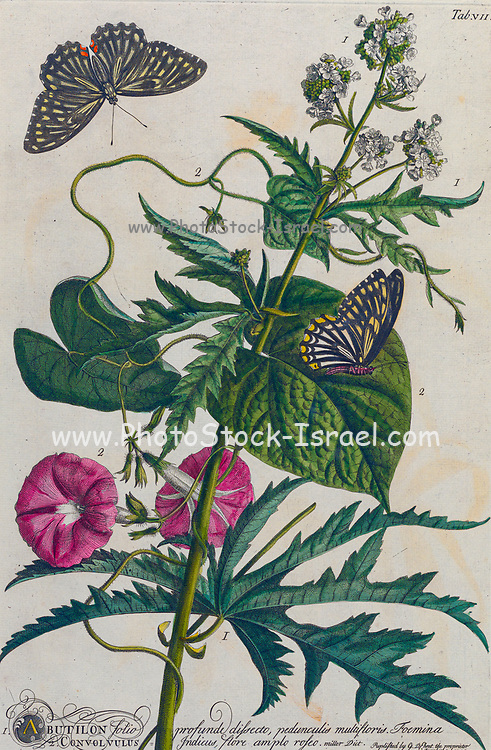 Abutilon Engraving, hand-colored print of plants and butterflies from Plantae et papiliones rariores (rare plants and butterflies) by Ehret, Georg Dionysius, 1708-1770 Published in London in 1748