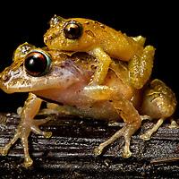 Two rain frogs, genus Pristimantis, in amplexus.