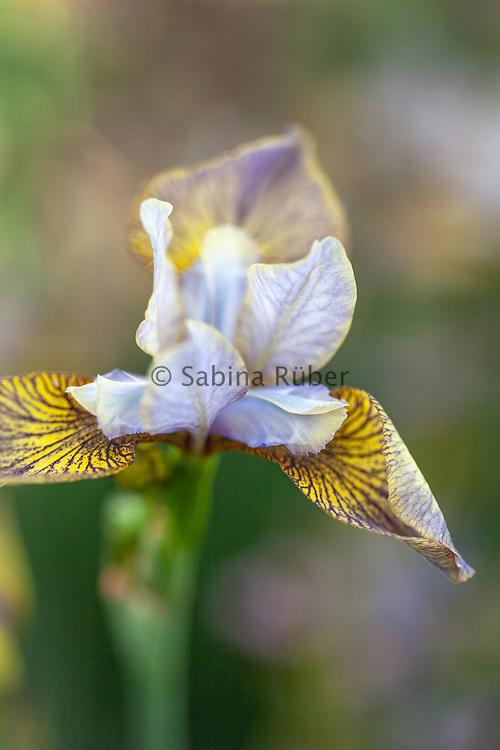 Iris sibirica 'Huntress'