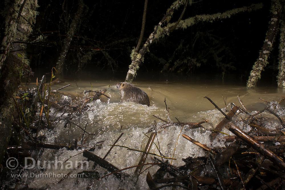 A nutria (Myocastor coypus) swims past the breach in a beaver dam during night flooding. Near Philomath, Oregon.
