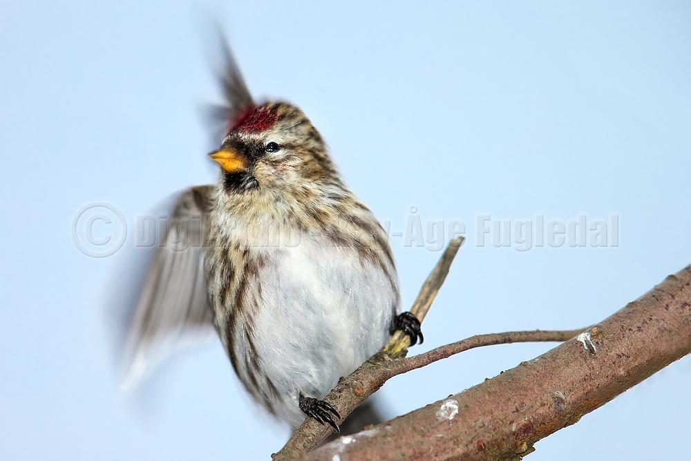 Common Redpoll sitting on a branch. Each time i triggered the shutter the bird flinched  | Gråsisik som sitter på en gren. Hver gang jeg tok bilde, så skvatt fuglen til.