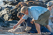 NOAA contract veterinarian Bob Braun takes a nasal swab samples from a Hawaiian monk seal, Monachus schauinslandii, prior to attachment of a Crittercam and tracking instrumentation package; west end of Molokai, Hawaii, USA, Ho Ike a Maka Project, photo taken under NOAA permit 10137-6