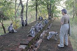 Gail Cohen Observing Hanuman Langurs