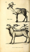 Rein Deer from General zoology, or, Systematic natural history Vol II Part 2 Mammalia, by Shaw, George, 1751-1813; Stephens, James Francis, 1792-1853; Heath, Charles, 1785-1848, engraver; Griffith, Mrs., engraver; Chappelow. Copperplate Printed in London in 1801 by G. Kearsley