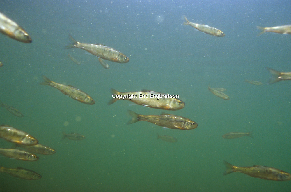 School of Common Shiner<br /> <br /> ENGBRETSON UNDERWATER PHOTO