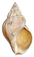 Common Whelk - Buccinum undatum
