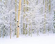 snow on winter aspens, Jackson, WY.