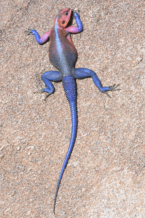 A brightly coloured male Mwanza flat-headed rock agama (Agama mwanzae) warms itself by lying flat on a vertical rock exposed to the early morning sun.  Serengeti National Park, Tanzania.
