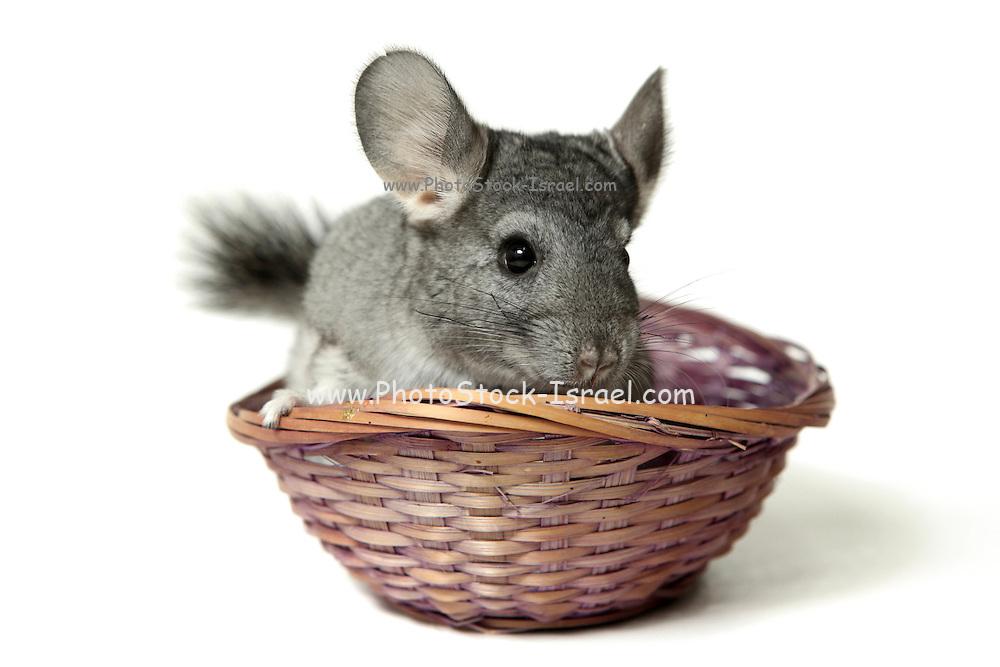 Chinchilla in a straw basket On white Background