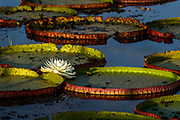 Giant water lillies (Victoria amazonica) with first day white flower. Photo from Porto Jofre, Pantanal, Brazil.