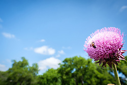 Honey bee on purple thistle, Big Spring historical and natural area, Great Trinity Forest, Dallas, Texas, USA