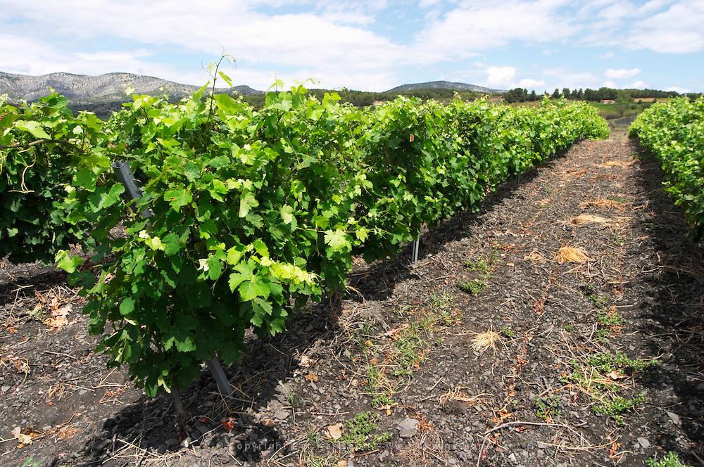 Slate. Vineyard. The black soil. Called Terres Brulees, burnt soil. Syrah. Domaine Piquemal, Espira de l'Agly, Roussillon, France