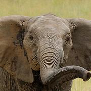 African Elephant (Loxodanta africana) in Masai Mara National Reserve, Kenya, Africa.