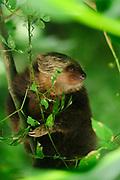 Perezoso didáctilo de Hoffmann / Parque Nacional Camino de Cruces, Panamá.<br /> <br /> Hoffmann's two-toed sloth / Camino de Cruces National Park, Panama.
