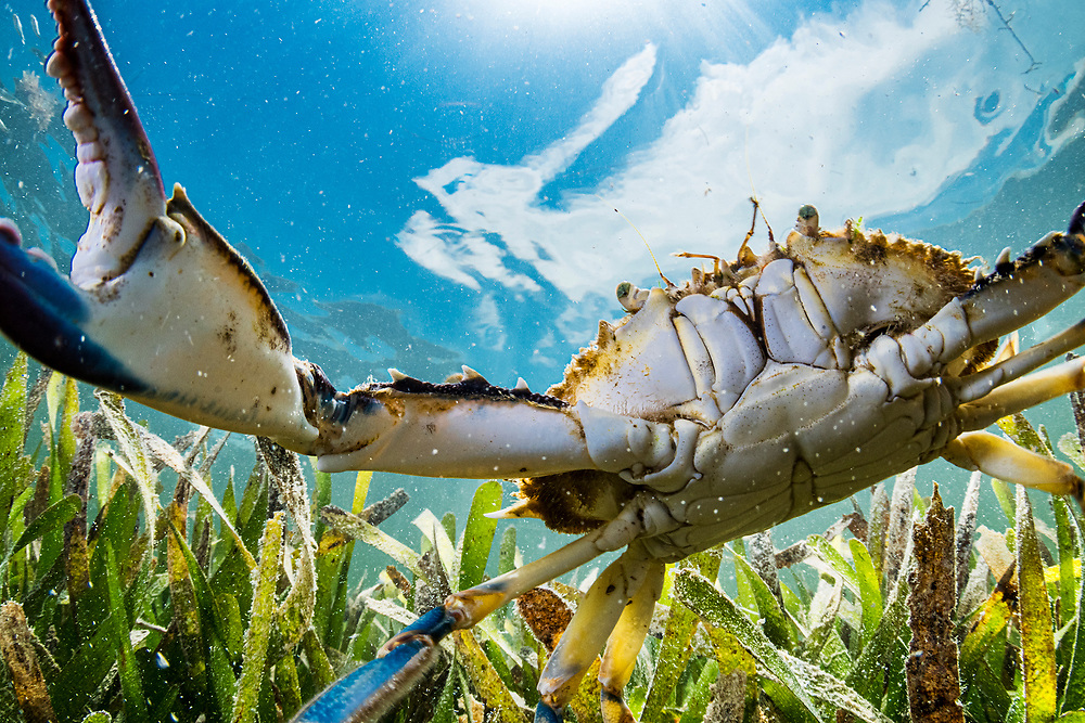 A crab inspects my remote camera in a seagrass meadow in the Florida Keys.