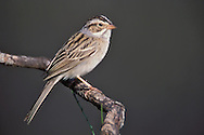 Clay-colored Sparrow - Spizella pallida - breeding adult