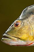 Peacock Bass<br /> (Cichla ocellaris)<br /> Rewa River<br /> Rainforest<br /> GUYANA. South America