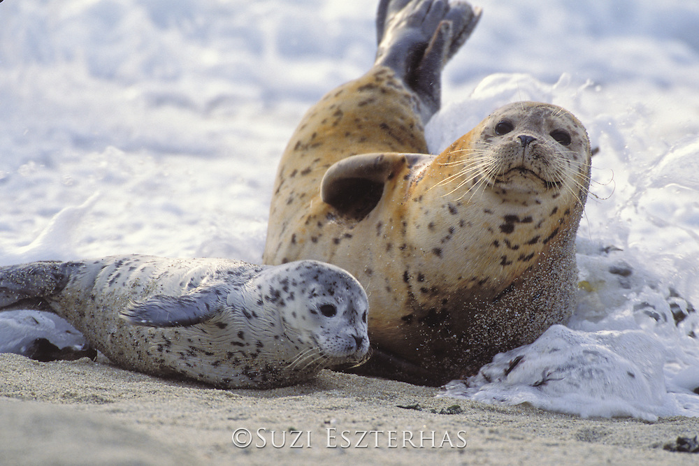 Harbor Seal<br /> Phoca vitulina<br /> Mother and pup splashed by waves on shore<br /> Monterey Bay, CA