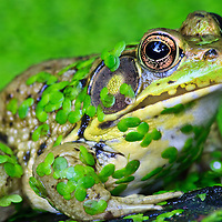 An extreme close-up of a green frog (Rana clamitans) covered in common duckweed (Lemna minor) at the edge of a small pond, Huntley Meadows Park, Alexandria, Virginia.