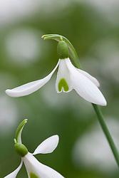 Galanthus 'Atkinsii'  AGM