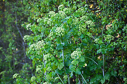 Alexanders growing by a country lane. Smyrnium olusatrum