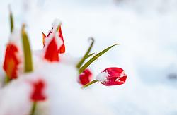 19.04.2017, Kaprun, AUT, Wintereinbruch in Salzburg, im Bild eingeschneite Tulpen // snowed tulips, Kaprun, Austria on 2017/04/19. EXPA Pictures © 2017, PhotoCredit: EXPA/ JFK