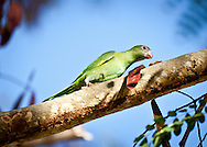 A canary winged parakeet in Humacao, Puerto Rico.