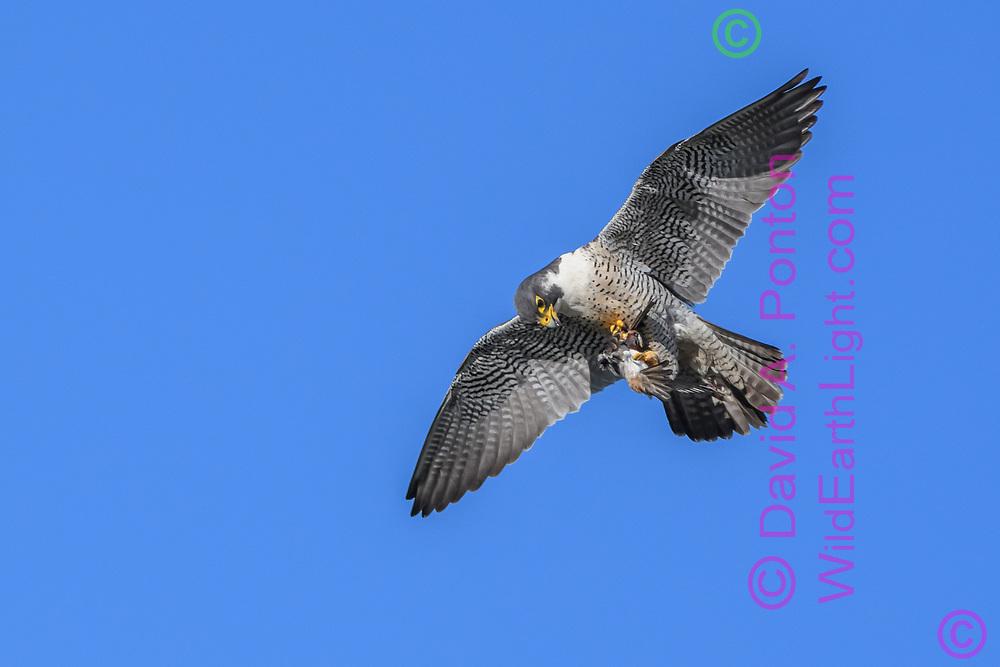 Peregrine falcon rises up, having just captured prey, a cliff swallow, © David A. Ponton