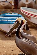 Pelican, Mazatlan, Sinaloa, Mexico