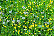 Meadow Buttercups, Ranunculus acris and seed heads of Dandelions, Taraxacum officinale - dandelion clocks - in summertime, UK