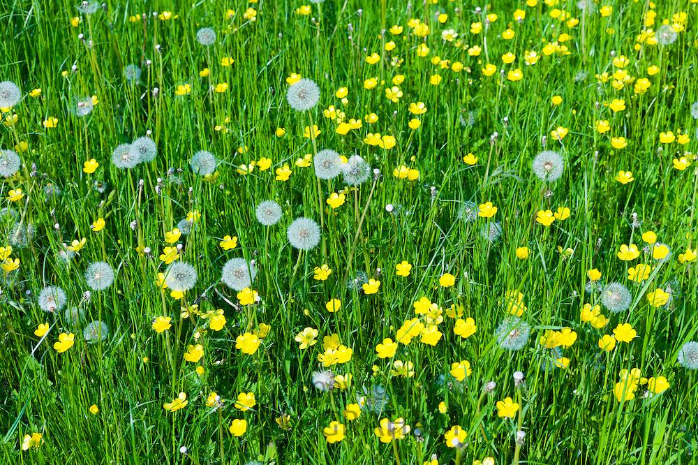 Meadow Buttercups, Ranunculus acris and seed heads of Dandelions, Taraxacum officinale - dandelion clocks - in summertime, UK