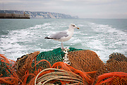 A seagull sits on the nets hitching a ride near Folkestone Harbour. during a fishing trip on the  boat Valentine FE20, Hythe Bay, the English Channel, United Kingdom.