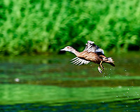 Wood Duck (Aix sponsa). Sourland Mountain Preserve. Image taken with a Nikon D810a camera and 500 mm f/4 VR lens.