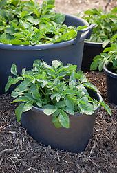 Potatoes growing in large black pots. Solanum tuberosum