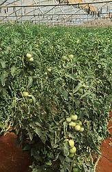 Tomatoes being grown in greenhouse near Havana Cuba,