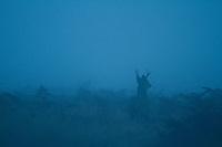 Image of deer in fog in Redwood National Park, CA