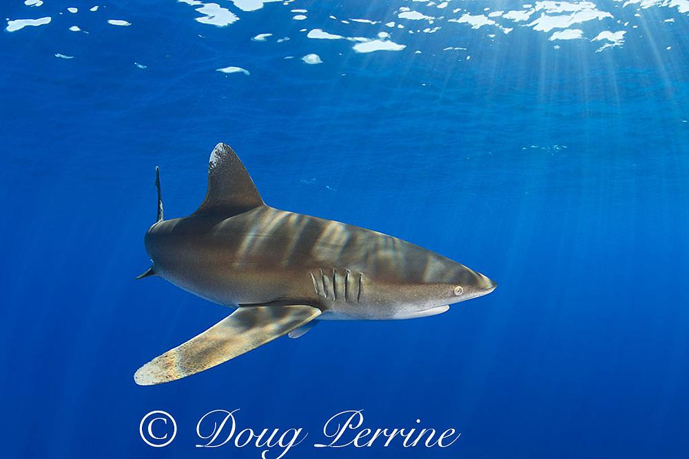 oceanic whitetip shark, Carcharhinus longimanus, off the north Kona Coast of Hawaii Island ( the Big Island ), Hawaiian Islands, U.S.A. ( Central Pacific Ocean )