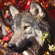 Portrait of an adult gray wolf, Montana. Captive Animal