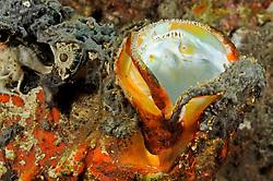 Synanceia horrida, Warzen Steinfisch, Kopf mit geoeffnetem Maul, Estuarine Stonefish, head with open mouth,  Tulamben, Bali, Indonesien, Indopazifik, Indonesia, Asien, Indo-Pacific Ocean, Asia