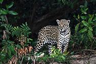 Junger weiblicher Jaguar (Panthera onca) auf der Jagd, Pantanal, Brasilien<br /> <br /> Young female Jaguar (Panthera onca) on the hunt, Pantanal, Brazil