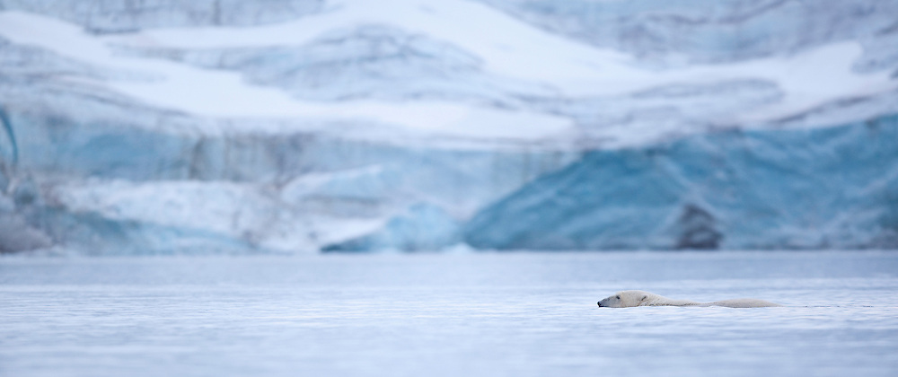 Polar bear (Ursus maritimus) swimming in front of glacier, Svalbard, Norway.
