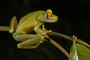 Tree Frog (Hypsiboas cinerascens)<br /> Rain Forest<br /> Iwokrama Reserve<br /> GUYANA<br /> South America