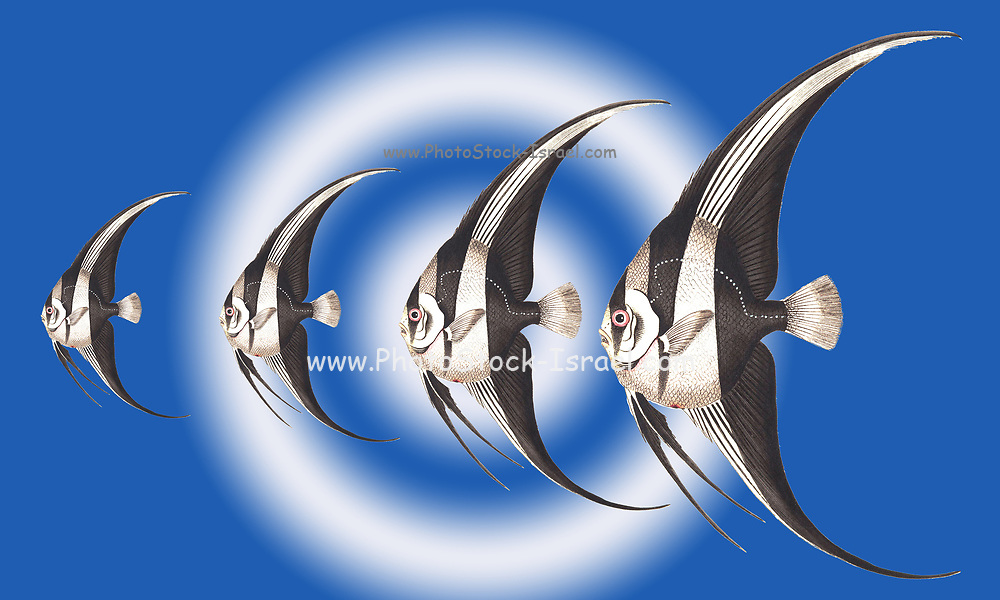 Digitally enhanced image of Pterophyllum scalare, most commonly referred to as angelfish or freshwater angelfish, or sometimes just Scalare. various sizes all in a row