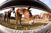 Mules, used to pack things into the Grand Canyon. South Rim of the Grand Canyon, AZ.