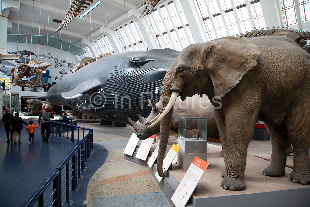 Mammals including marine mammals exhibition hall at the Natural History Museum in London, England, United Kingdom. The museum exhibits a vast range of specimens from various segments of natural history. The museum is home to life and earth science specimens comprising some 80 million items within five main collections: botany, entomology, mineralogy, paleontology and zoology. The museum is a centre of research specialising in taxonomy, identification and conservation.